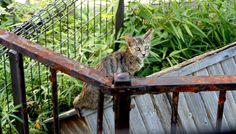 キジトラ猫(915)猫写真-横浜 #猫写真