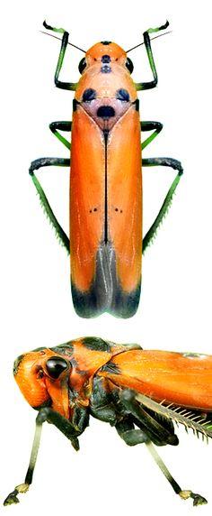Bothrogonia ferruginea