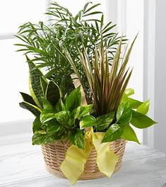 The French Garden employs lush, green plants to create a gift ideal for any of life's special occasions. Containing a varied assortment of green plants, th Exotic Plants, Green Plants, Father's Day Flowers, House Plant Delivery, Flower Pot Design, Plant Basket, Garden Basket, Dish Garden, House Plants Decor