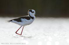 mis fotos de aves: Himantopus mexicanus Tero Real Black-winged Stilt
