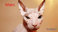 Sphynx #cat! @easyologypets