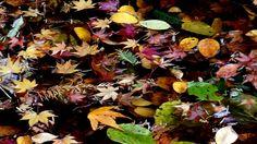 Autumn leaves 落葉