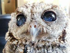 宇宙の瞳をもつフクロウ! This Blind Screech Owl Has Eyes That Are Impossible To Believe
