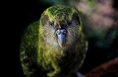 Какапо, или совиный попугай - Путешествуем вместе
