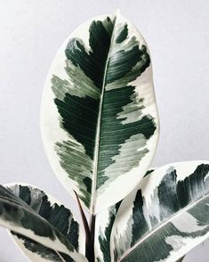 Variegated Rubber Tree Ficus Elastica – - All For Herbs And Plants Ficus Elastica, Rubber Plant, Rubber Tree, Plantas Indoor, Jungle House, Plant Aesthetic, Aesthetic Roses, Witch Aesthetic, Aesthetic Drawing