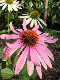 #Echinacea #Pflanze #Garten #Natur