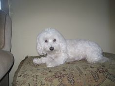 Kitri  Leave a reply Download Alert Type: Lost Alert Number of Pets : Only one pet Pet Kind : Dog Gender : Female Breed : Small White Coton de Tulear with short hair Lost Date : Oct 14, 2015 Alert Date : Oct 15, 2015 Missing Address : N. Salsipuedes Missing City : Santa Barbara Missing State : California Missing Zipcode : 93103 Alert Status : Active Contact Name : Allison Phone Number : 805-689-5876