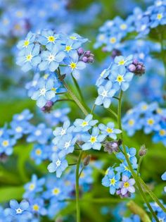 Forget-me-nots - Blue and Green in Nature