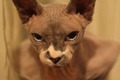 sphynx cats 47/51 | Zonerama.com