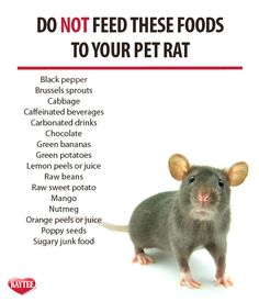Keep this list handy if you have a pet rat. Always remember: check with your vet before feeding any new foods to your pet. Portions must remain small as these are small animals with tiny stomachs. Pet Rat Cages, Rat Cage Diy, Fennec Fox Pet, Animals And Pets, Cute Animals, Strange Animals, Rat Care, Pet Rodents, Dumbo Rat