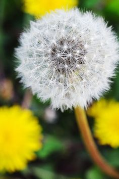 Dandelion | Flickr