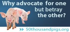 50 thousand pigs