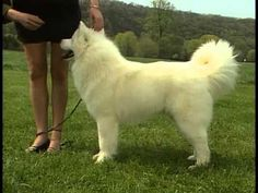 The Samoyed's Coat Can Handle a Range of Temperatures - American Kennel Club