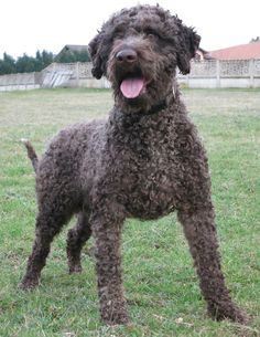 Lagotto Romagnolo. Great length of the coat.