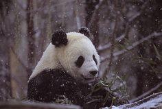 Oh panda! You so cute!