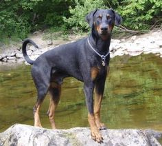 Doberman pinscher, the way God made them, with long tail and floppy ears!