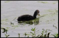 Baby duck [Pic: Sushi Katre]