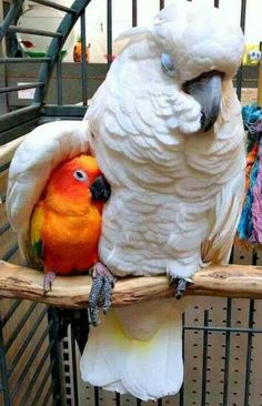 Cockatoo sheltering a sun conure under its wing. The Conure holding the 'Too's foot is very touching. Cute Birds, Pretty Birds, Beautiful Birds, Animals Beautiful, Funny Birds, Love Birds Pet, Birds Pics, Beautiful Babies, Animals And Pets