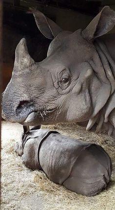 Rhinoceros and her baby Nature Animals, Animals And Pets, Baby Animals, Funny Animals, Cute Animals, Beautiful Creatures, Animals Beautiful, Tier Fotos, African Animals