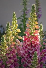 ❥ Foxglove in sunlig Flowers Garden Love
