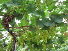 viinin viljelyä thaimaassa 2012