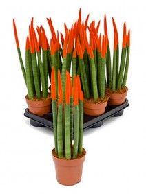 Sansevieria velvet touch 45 cm wurden die Spitzen in Farbe eingetaucht Blue Succulents, Shops, Homemade Mask, Petunias, Indoor Plants, Asparagus, Green Beans, Vegetables, Gardening
