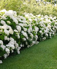 red twig dogwood hedge shrubs and hedge plants pinterest. Black Bedroom Furniture Sets. Home Design Ideas
