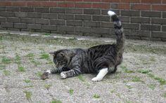 Kat (Bengel) en muis spel.
