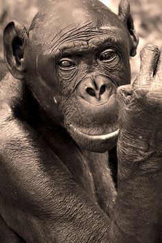 Bonobo. Along with chimps, bonobos are our closest cousins.