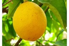 How Do I Take Care of a Potted Meyer Lemon Tree? | eHow
