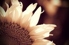 Sunflower Photo in Sepia, Sunflower Photography, Wall Art Print, Flower Photography - pinned by pin4etsy.com
