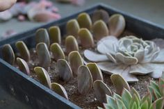 If all of these leaves root and become succulent plants, there will be plenty to use in mixed urns during the summer months.