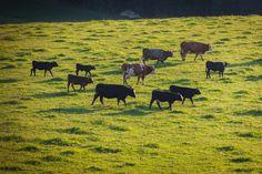 Biohof Silberbauer: Fleisch vom Angus Rind hier bestellen - Oberösterreich Angus Rind, Moose Art, Animals, Dog Food, Rib Roast, Free Range, Cattle, Animais, Animales