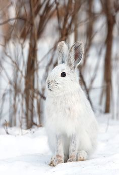 Snowshoe hare by Jim Cumming on Arctic Hare, Arctic Animals, Baby Animals, Arctic Habitat, Snowshoe Hare, Cute Small Animals, Bunny Drawing, Wild Animals Photos, Singular