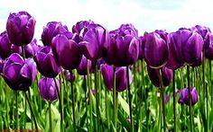 Amazing Purple Tulips