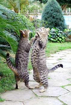"Kitten Ballroom Dancing:  World champion Cha-Cha pair, ""Armando Luv-a-Good Tequilla"" & ""Frieda Am-I-Fluff-Eeee-nuff"".  No rival cha-cha pair, nor bottle of tequilla, is safe around these two masters of classic Cuban poetry in motion."