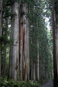 Togakushi trees - Nagano, Japan