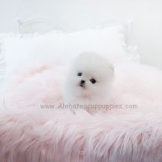 Micro Teacup Pomeranian, White Pomeranian, Teacup Puppies For Sale, Tiny Puppies, Tea Cups, Mary, Healthy, Cute, Small Puppies For Sale