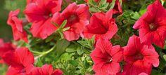 Pflanzenwissen: Die richtige Pflege für Petunien