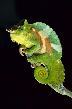 Chameleon Perched on Branch