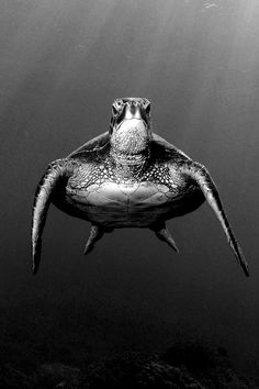 Sea Turtle. ☀ He be angry @Melissa Squires Marie