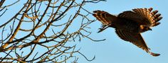 A red-shouldered hawk takes flight at McGrath State Beach.    For more information about Channel Coast State Parks, please visit www.friendsofccsp.org