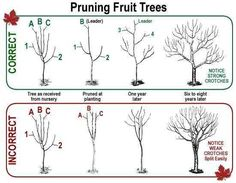 and The Wrong Way & When To Prune Fruit Trees.The Right and The Wrong Way & When To Prune Fruit Trees.Right and The Wrong Way & When To Prune Fruit Trees.The Right and The Wrong Way & When To Prune Fruit Trees. Prune Fruit, Pruning Fruit Trees, Apple Tree Pruning, Grafting Fruit Trees, How To Prune Trees, Bonsai Pruning, Dwarf Fruit Trees, Fruit Bushes, Tree Planting