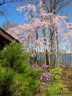 Weeping Cherry Tree Prunus in spring with Rhododendron, on sunny day with blue…