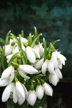 Snowdrop - Galanthus