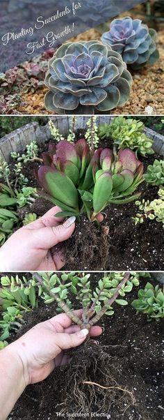 How to Plant Succulents for Fastest Growth