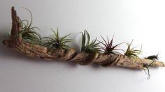 een muur tuintje met air plants