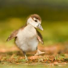 goslings - Google Search