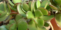 Většina z nás již slyšela o tučnolistu nebo tromu peněz, který nám údajně domu dokáže přivézt úspěch, pěníze a blahobyt. Kromě toho má tato skvělá rostlina i léčivé vlastnosti, o kterých skoro nikdo neví. Tato zajímavá rostlina není o nic horší než slavná aloe vera. Pokud se na vašem parapetu Herbs, Plants, Aloe Vera, Gardening, Fitness, Medicine, Lawn And Garden, Herb, Plant