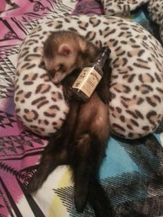 Best Ferret Memes, Hilarious, And Adorable Ferret Memes. See more ideas about Ferret, Funny ferrets and Cute ferrets. Ferrets Care, Baby Ferrets, Funny Ferrets, Pet Ferret, Ferret Meme, Cute Little Animals, Cute Funny Animals, My Spirit Animal, The Villain